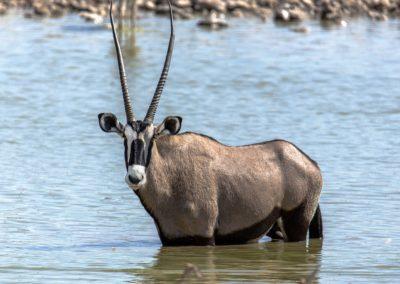 Oryx beim Bad